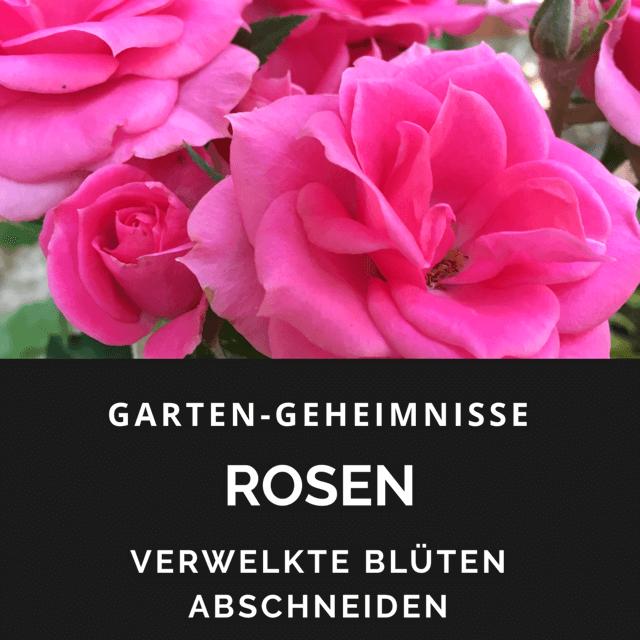 verwelkte Rosenblüten schneiden