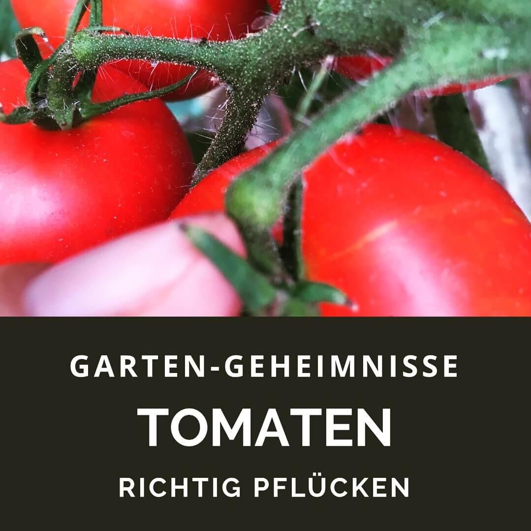Tomaten mit Stiel pflücken