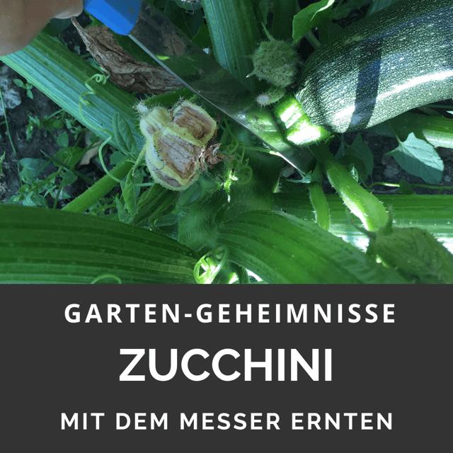 Zucchini mit Messer ernten