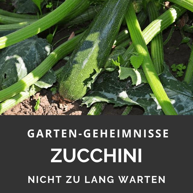 Zucchini klein ernten