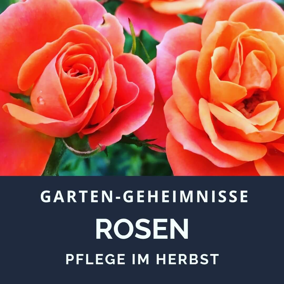 Rosen_schneiden_im_Herbst