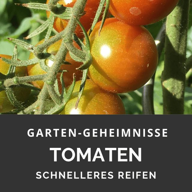 Tomaten werden nicht rot