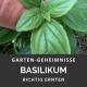Basilikum ernten
