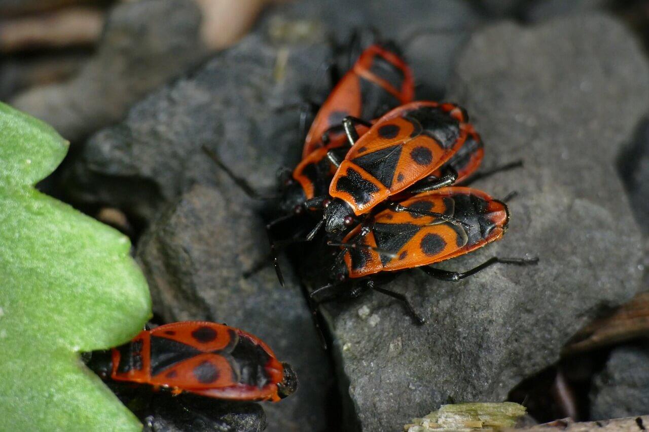 roter Käfer mit schwarzen Muster